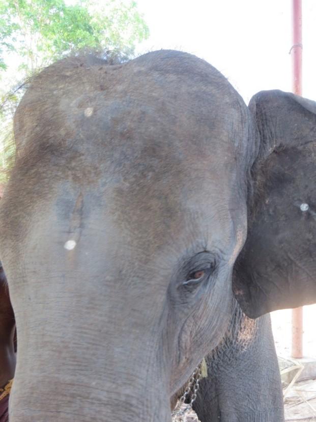 Shiva the elephant