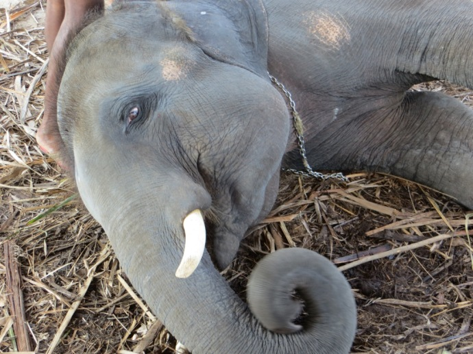 """Shiva the """"baby"""" elephant and his curly trunk"""