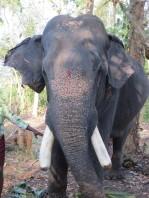 The massive temple elephant in full flight